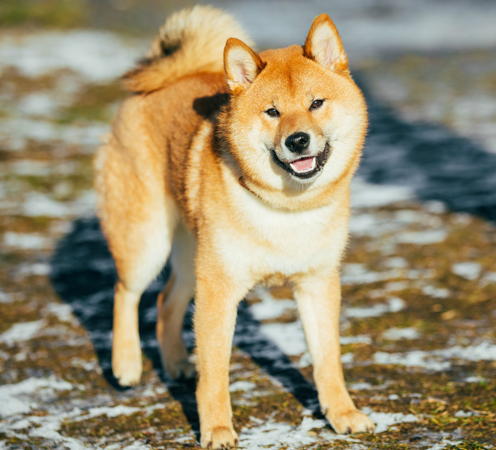 Unbelievably cute fluff balls from Japan: Japanese dog breeds