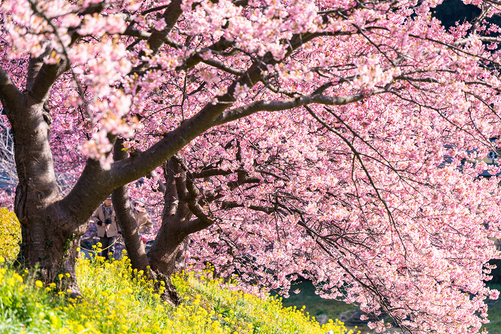 Cherry Tree Blossom Pictures
